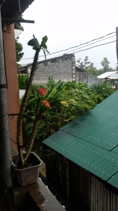 View from the second story balcony - This cactus plant stood strong as the winds increased, behind it are a bunch of banana and mango trees on our alleyway, that didn't end up making it through the storm